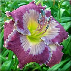 Seagull's Heaven - Pete Harry Daylilies... Daylilies Of Distinction