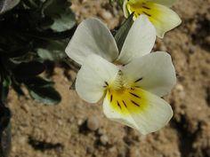 Nahuby.sk - Fotografia - fialka roľná Viola arvensis Murray