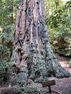 Portola Redwoods. La Honda, CA #redwoods #moderate #sanmateocounty #sfbayarea