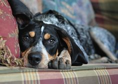 Baby girl coonhound