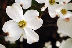 Cornus florida 'Weaver' White Dogwood - Dogwood Trees - Willis Orchard Company Spring Gardens has these in 15 gallon for $75.00 7/19/13