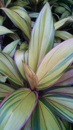 Easy To Grow Houseplants Clean the Air Cordyline Hawaiian Flowers, Tropical Flowers, Tropical Garden, Tropical Plants, Elephant Ear Plant, Elephant Ears, Ti Plant, Easy To Grow Houseplants, Inside Plants
