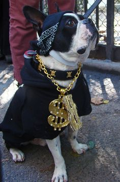 Blinged-out dog, Annual Tompkins Square Halloween Dog Parade, October New York City. If you like this picture, check out my other pictures of dogs in costumes. Boston Terrier Costume, Boston Terrier Dog, Terrier Dogs, Baby Animals, Funny Animals, Boogie Bear, Dog Halloween, Dog Costumes, Dog Bandana