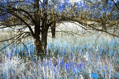 Dark Tree and Blue 8x10 metallic print by MemoriesByTessa on Etsy, $30.00  Coupon code HOLIDAY to receive 25% off now through 1-31-2013