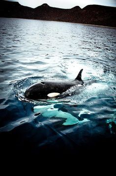 "The pic of the day is of an orca. Read the nytimes article ""Smart, Social, and Erratic in Captivity"" http://www.nytimes.com/2013/07/30/science/smart-social-and-captive.html?ref=science"