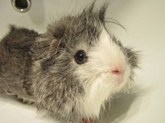 This is my favorite baby by NastyaHelsa.deviantart.com on @deviantART #Guineapig