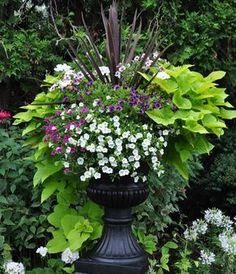 Lush planter. Cordyline for the foundation (I would also consider using purple fountain grass) surrounded by potato vine and calibrachoa for the trailing greenery and flowers.