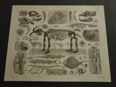 ITEM DESCRIPTION For sale is a lovely antique German print with detailed pictures of different fossils. This charming print comes from the beautiful Bilder-Atlas by Brockhaus with detailed plates to illustrate the Brockhaus-Lexikon. Item is printed in the year 1849 and is a true antique. Total / leaf size is aprx. 23 x 29,5cm (9 x 12 inches). Condition of the print is good (= a few small signs of age/wear - the paper is fully intact - in good overall condition). Verso is blank....