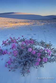 My Favorite Desert Perfume~! Sand Verbena blossoms in the dunes of White Sands National Monument, near Alamogordo, New Mexico USA Desert Dream, Desert Life, White Sands National Monument, New Mexico Usa, Land Of Enchantment, The Dunes, Jolie Photo, Beautiful World, Mother Nature
