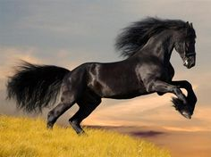Black Stallion beauty running and rearing up. Gypsy Vanner horse. Cavalos