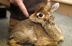 "A dik-dik, pronounced ""dĭk' dĭk"", is a small antelope in the Genus Madoqua that lives in the bushes of eastern and southern Africa. Dik-diks stand 30–40 cm (approx. 12–16 inches) at the shoulder, are 50–70 cm (approx. 20-28 inches) long, weigh 3–6 kg (approx. 7-16 pounds) and can live for up to 10 years"