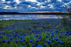 Иллюстрация из Интернета.Васильки, васильки, синь бескрайних полей,Голубые просторы, цветущие дали,Ничего нет прекрасней, чудесней, нежней,Вас вселенские силы любовью соткали.Васильки, васильки, восхищая собой,Увлекаете в мир волшебства неземногоЛепестками с тончайшей ажурной резьбойИ с раздольными видами края родного.Васильки, васильки, полевые цветыВ обрамлении рос и шелков изумруда.От такой красоты воспаряют мечты,В голубое сияние летнего чуда.Васильки, васильки, к вам тропа