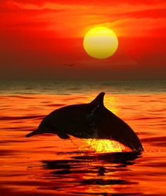 Dolphin jumping out of the water with a beautiful sunset behind it