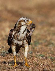 Bird 030 - ಡೇಗೆ /White-eyed Buzzard More Info: http://www.arkive.org/white-eyed-buzzard/butastur-teesa/ , http://en.wikipedia.org/wiki/White-eyed_Buzzard