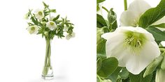 Helleborus queens White