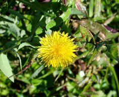 Flora da Serra da Arrábida: Serralha (Sonchus oleraceus)