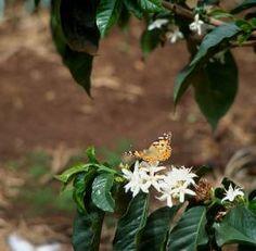 I Kenya finner man noen av verdens mest utsøkte og karakterisktiske kaffesorter. Aromaen gir sterke assosiasjoner til blomster, frukt og te. Kaffen er rik på bæraktig sødme, balansert med syrlighet.