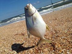 Surf fishing gulf shores alabama fishing alabama for Surf fishing gulf shores