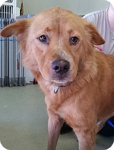 North Haven, CT - Retriever (Unknown Type)/Chow Chow Mix. Meet Molly, a dog for…