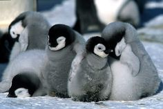 snuggly penguins!