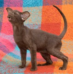 chocolate oriental cats - Google Search Oriental Shorthair Cats, Oriental Cat, Kangaroo, Chocolate, Google Search, Animals, Kittens, Cat Breeds, Baby Bjorn