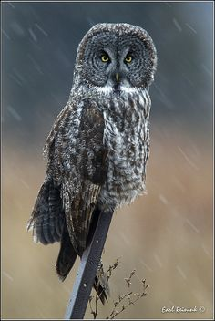 A Great Gray Owl. Such a beautiful creature. I plan on having a pet owl one day, when I have the money to have a huge cage for it. :)