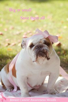 Bulldog supporting Breast Cancer Awareness :)