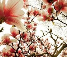 Japanese Magnolia tree with pink blossoms Nature Photography Flowers, Flowers Nature, Amazing Photography, Peach Flowers, Beautiful Flowers, Beautiful Things, Nice Things, Simply Beautiful, Girly Things