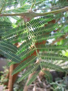 Acacia Gum Arabic Cassie Flower Catechu Egyptian Thorn Acacia Acacia Gum Trees To Plant