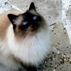 Ragdoll cats are known for their blue eyes.