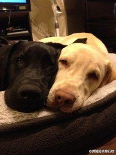 Labradors getting sleepy love #Golden Retriever #pretty #dog #cute #nuvet #nuvetlabs,  #nujointplus  #nuvetplus #pets #nuvetpets