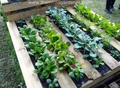 Veggie Patch in a Pallet Garden -- Just staple some landscape fabric to the bottoms of each section and add soil and plants