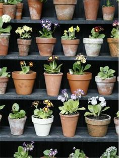 Auriculas, one of my many favourites Garden Pots, Garden Ideas, Primula Auricula, Primroses, Flower Pots, Flowers, Flower Photography, Yard Design, Theatres