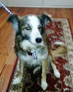 """Hi!  My name is """"Styles"""" or as my foster Mom calls me """"High-Styles!""""  Oh boy am I ever a sweet young boy!  I am an Australian Shepherd mix. Mom says I'm about 1-2 years old.  My life is a bit of a mystery but I came from a..."""