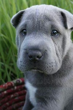Look at that face! #Silver Sharpei Shar-Pei Puppy Dogs