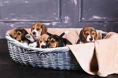 Pocket Beagle Puppies, Beagle Puppy, Dogs And Puppies, Beagle Breeders, Purina Puppy, Puppy Starter Kit, Puppy Litter, Puppy Classes
