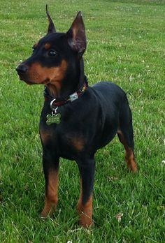 German Pinscher Puppy