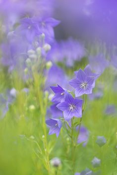 Platycodon grandiflorus, Balloon Flower, by peaceful-jp-scenery Exotic Flowers, Purple Flowers, Wild Flowers, Beautiful Flowers, Meadow Flowers, Art Flowers, Yellow Roses, Fresh Flowers, Pink Roses
