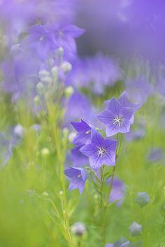 Ballonflower |! Flickr - Compartilhamento de fotos