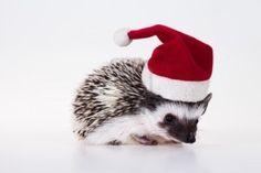 Christmas hedgehog is a cutie #DearTopshop Hedgehog Pet, Cute Hedgehog, Funny Christmas Cards, Christmas Pictures, Xmas Cards, Christmas Animals, Christmas Cats, Merry Christmas, Super Cute Animals