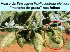 Ácaro da Ferrugem Phyllocoptruta oleivora :   prateamento nos frutos de limão Tahiti