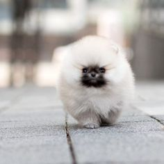 Micro Teacup Pomeranian, Micro Teacup Puppies, White Pomeranian, Chocolate Pomeranian, Pomeranian Dogs, Teacup Yorkie, Cute Baby Dogs, Baby Puppies, Teacup Puppy Breeds