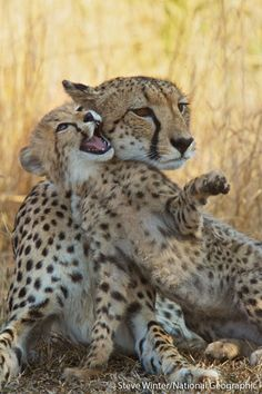 Enjoy our photo of the day of a female cheetah and her playful cub, taken in South Africa's Phinda Private Game Reserve by Panthera Media Director, Steve Winter! Steve visited Phinda last summer to document some of the leopard conservation work being carried out through Panthera's Munyawana Leopard Project - http://www.panthera.org/programs/leopard/munyawana-leopard-project    Follow Steve on instagram @ http://instagram.com/stevewinterphoto/