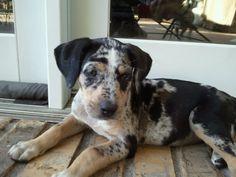 Catahoula puppy, just precious..