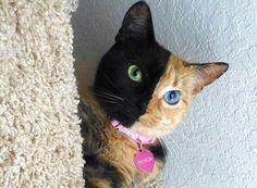 Venus, la gatta dal doppio volto che piace alla Rete