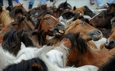 Wild horses wait to be tamed by aloitadores (fighters) during the Rapa das Bestas on July 7, 2012 in Sabucedo, Spain. (Denis Doyle/Getty Images)