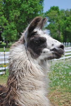 Brieanne remember when a lama spit on you when we were at a photo shoot for us??:) hahaha