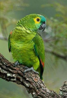 Resultado de imagem para papagaio verdadeiro amazona aestiva
