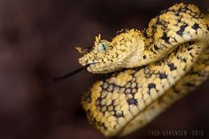 horned bush viper. I'll be honest, if the little one wasn't around we'd probably own some of these beautiful venomous snakes seeing as my husband worked in the OK zoo reptile section and was around venomous reptiles all the time.