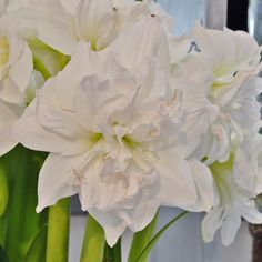 'Arctic Nymph' ist eine perfekt weiße-gefüllte Amaryllis. Die Zwiebeln kommen ab November in die Pflanzgefäße und blühen dann als Zimmerpflanze mitten im Winter - online erhältlich bei www.fluwel.de
